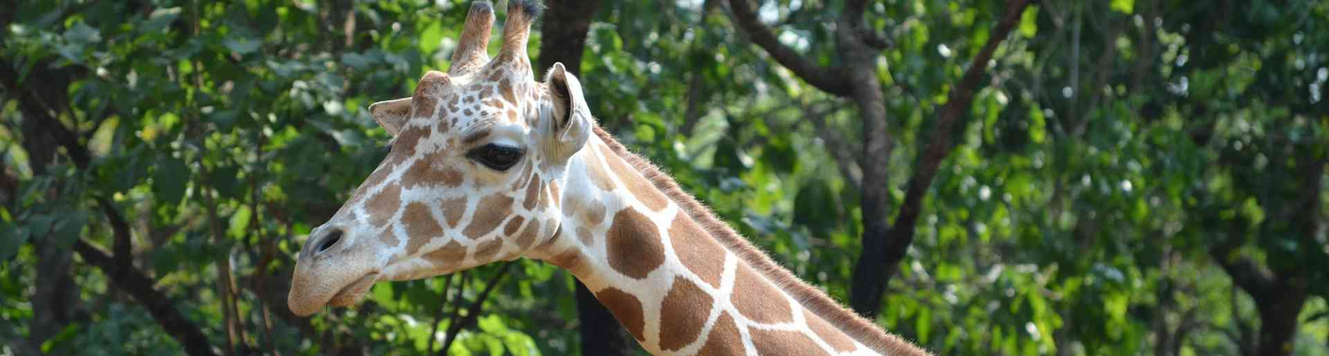 girafe zoo de beauval